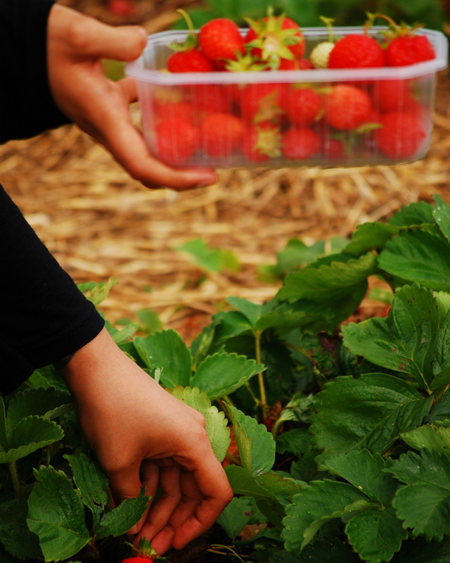 Free Day Trips London Pick your own Farm London