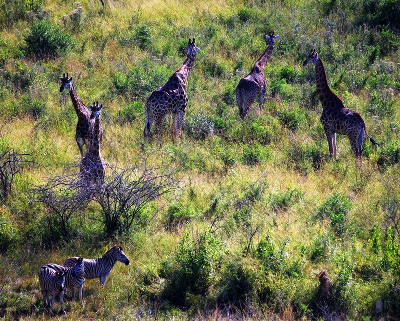Safari at Hluhluwe Imfolozi National Park Giraffes