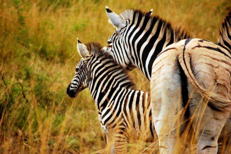 Safari at Hluhluwe Imfolozi National Park. Zebra