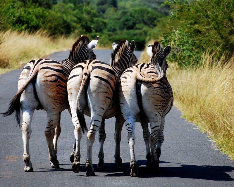 Safari at Hluhluwe Imfolozi National Park. Zebras