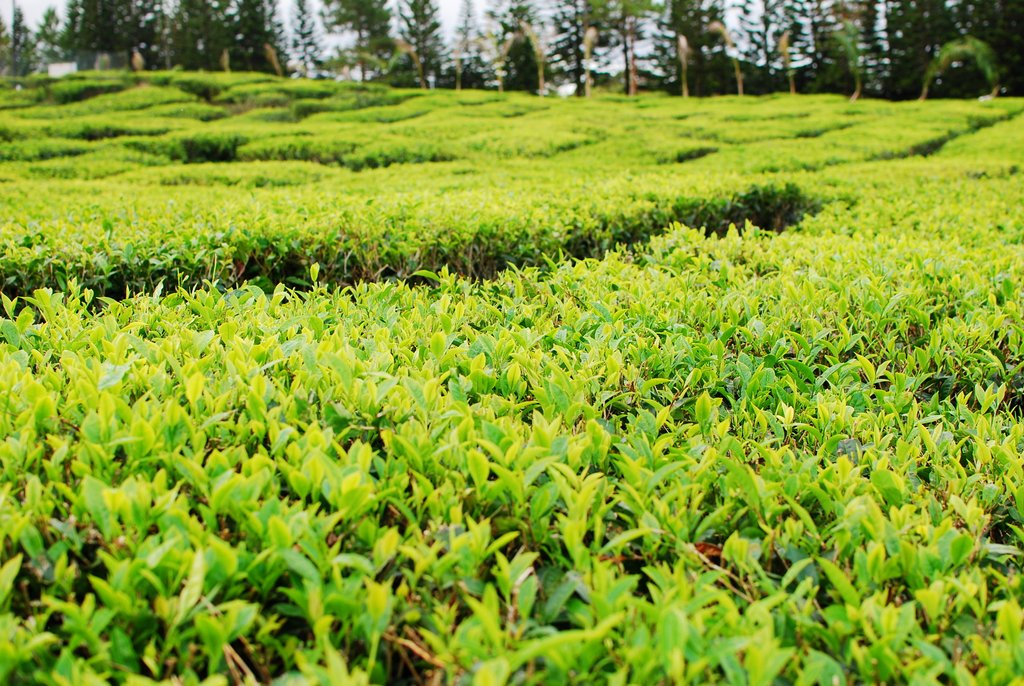 things to do in mauritius tea