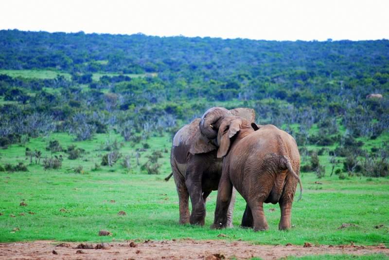 Elephants at Self Drive Safari at Addo National Park