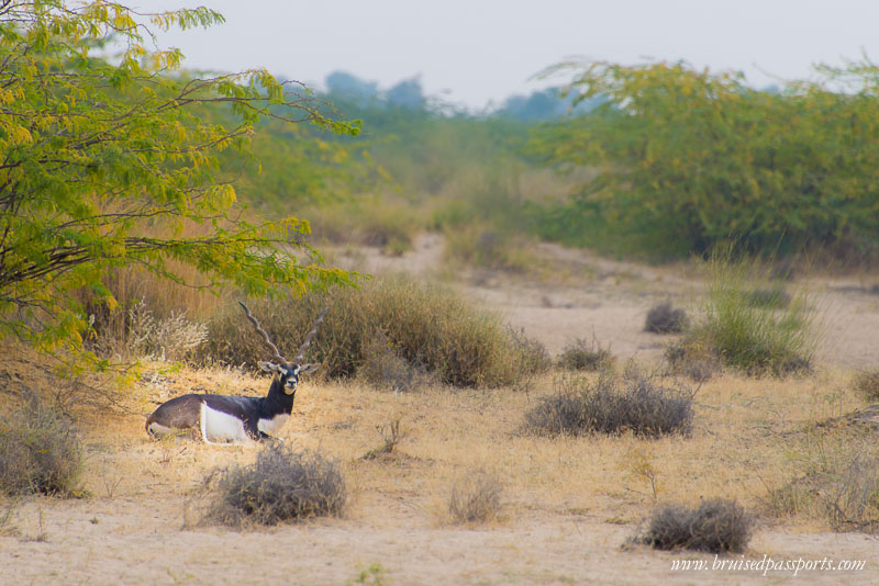 things to do in jodhpur black buck