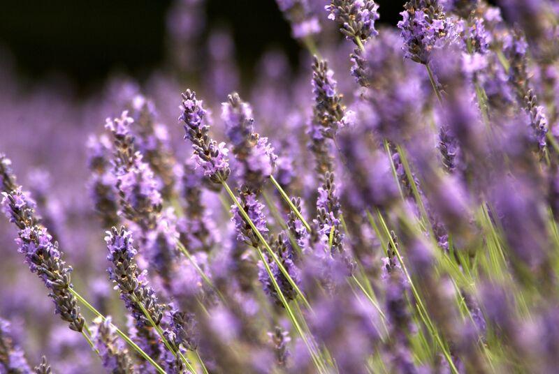 Fields full of fragrant flowers - aah Europe!!