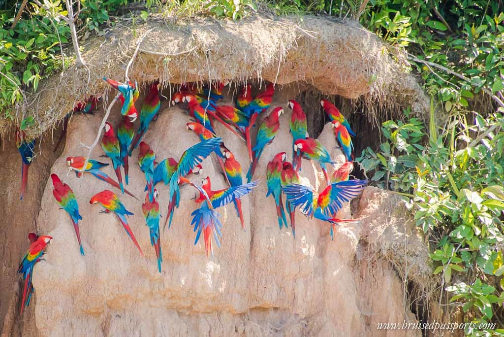 Peru-Itinerary-South-America-rainforest-tambopata-macaws