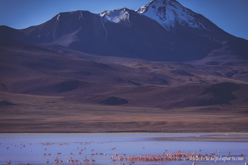 Wild flamingoes at Laguna Hedionda in Bolivian desert