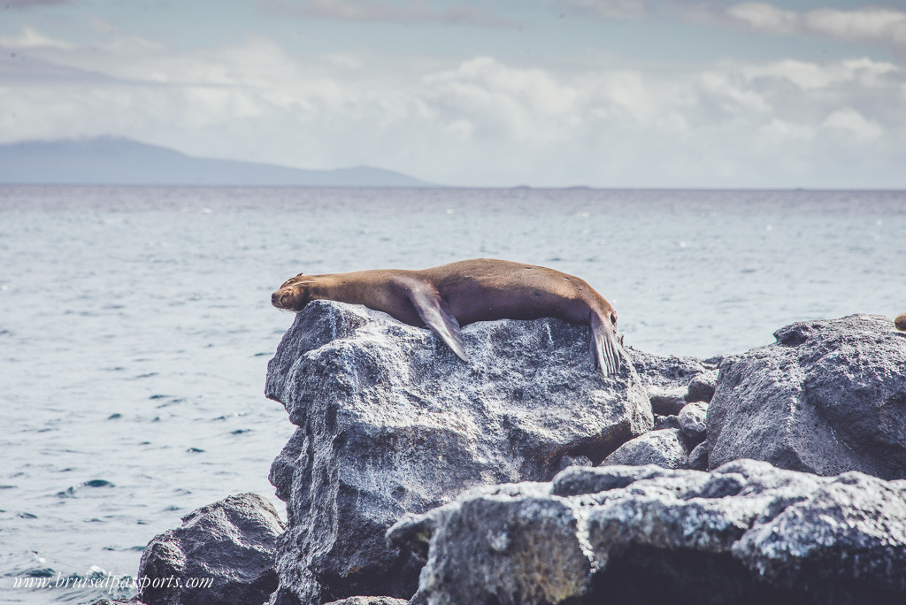 A sea-lion napping on North Seymour island
