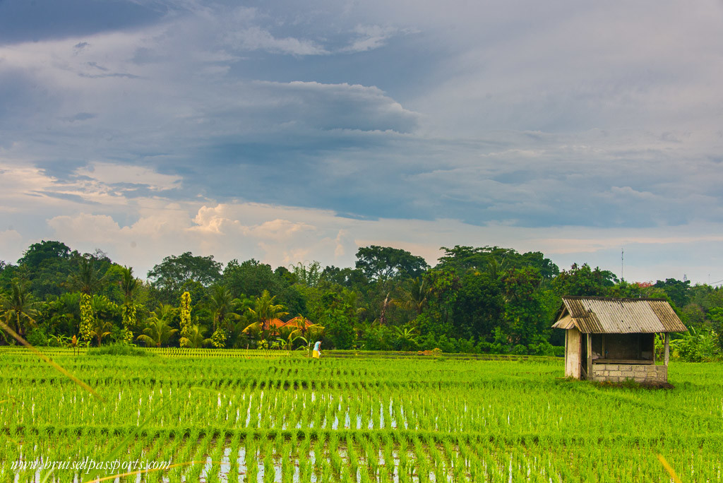 Gorgeous rice fields everywhere!