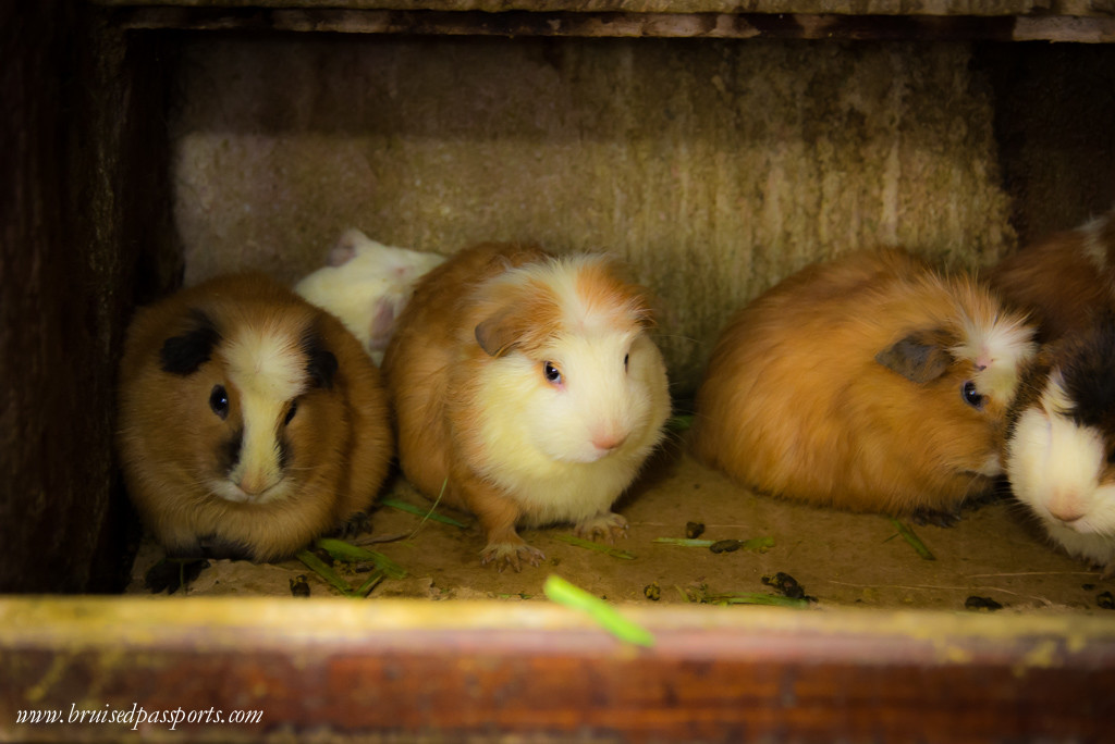 Guinea pigs are available at most restaurants in Peru
