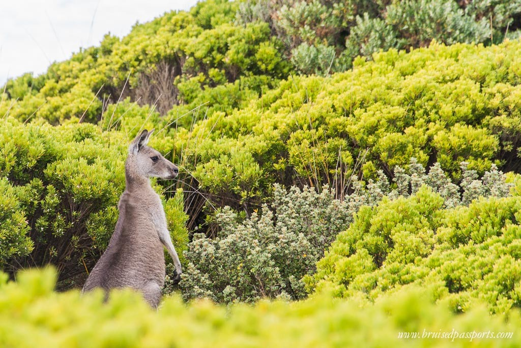 Great Ocean Walk kangaroo