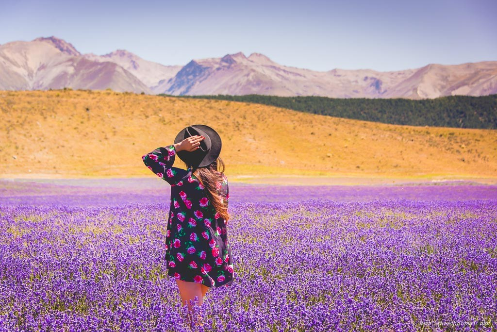 New Zealand Road Trip itinerary Mt. Cook National Park lavender field