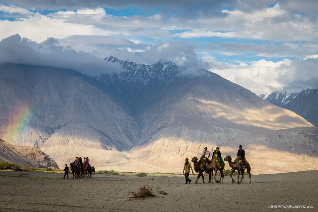 camels at sand-dunes of Hunder in Ladakh