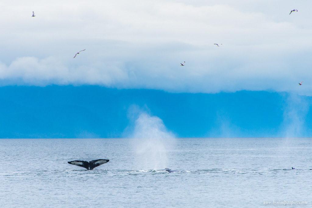 13 humpback whales in Alaska