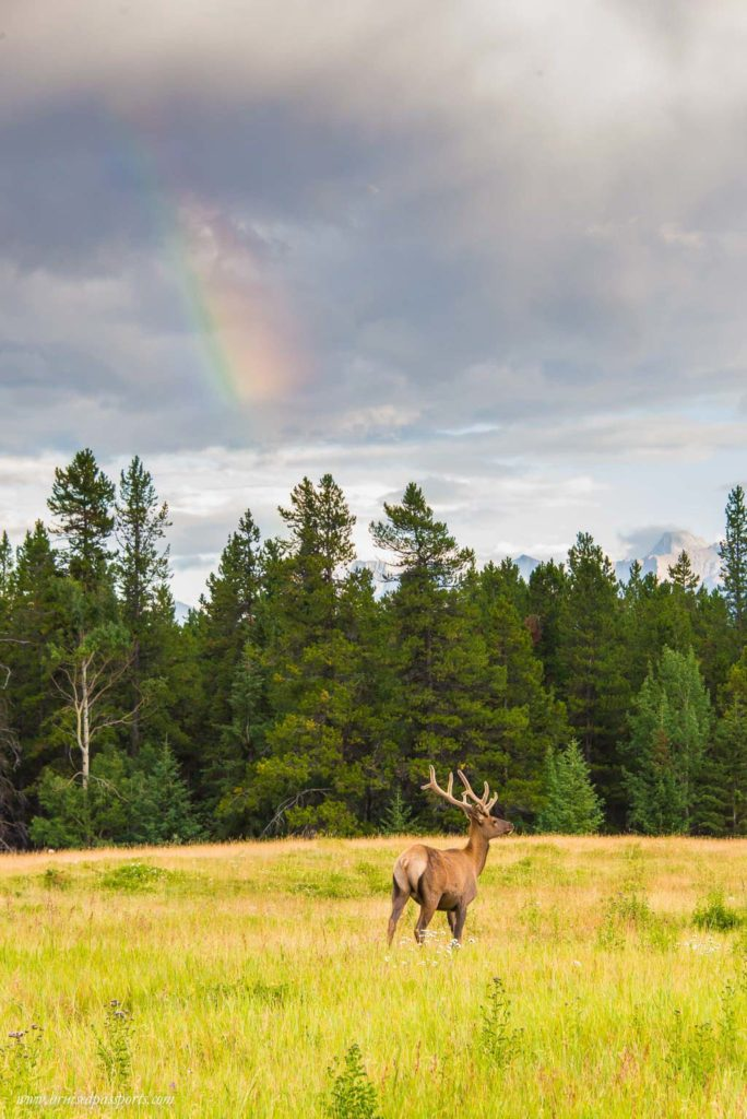 Elk under a rainbow in Banff National Park