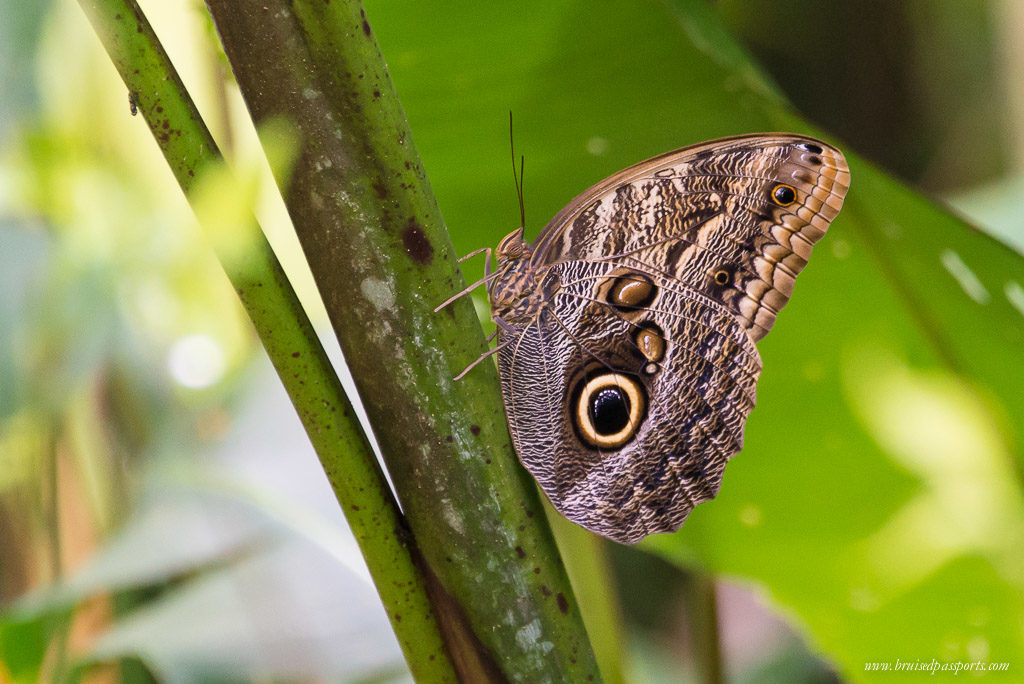 Owl butterfly Costa Rica