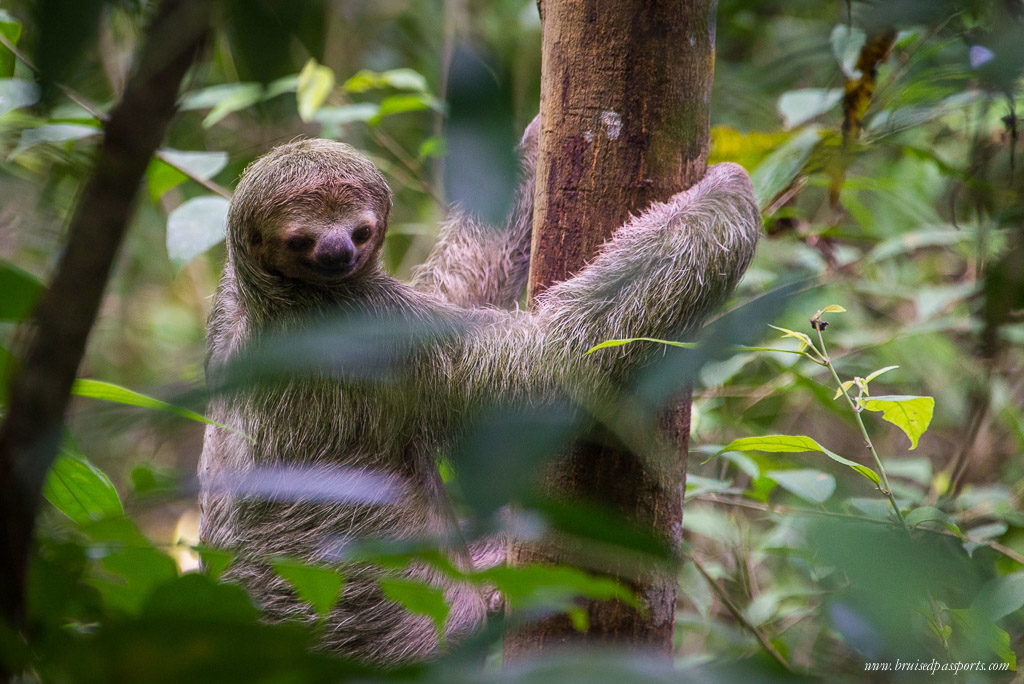 three toed sloth costa rica manuel antonio national park