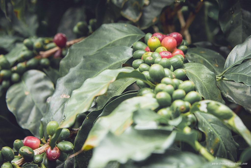 Coffee plantation costa rica San jose
