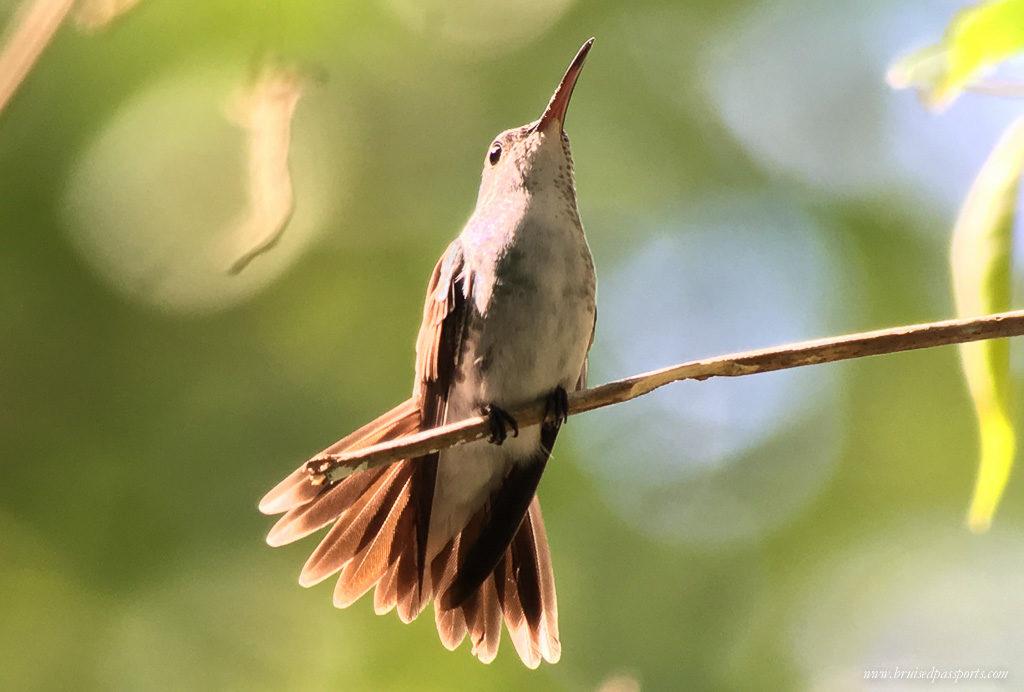 humming bird in manuel antonio national park costa rica