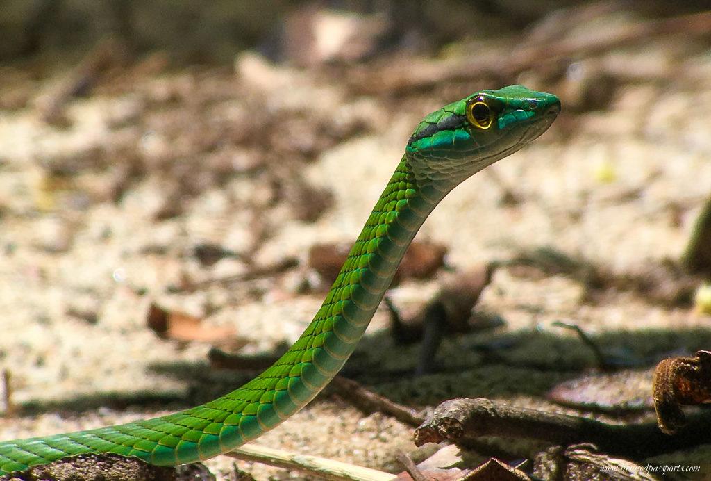 Green snake at Manuel Antonio National Park Costa Rica