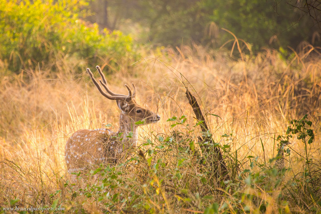 A spotted deer at Sariska National Park weekend getaway from Delhi