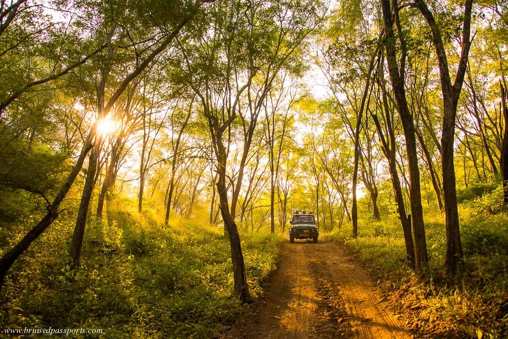 Safari at sariska tiger reserve - weekend getaway from delhi India