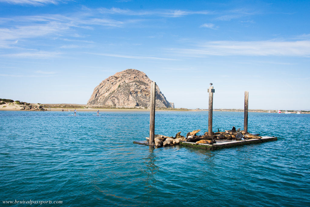 sea lions at Morro Bay California