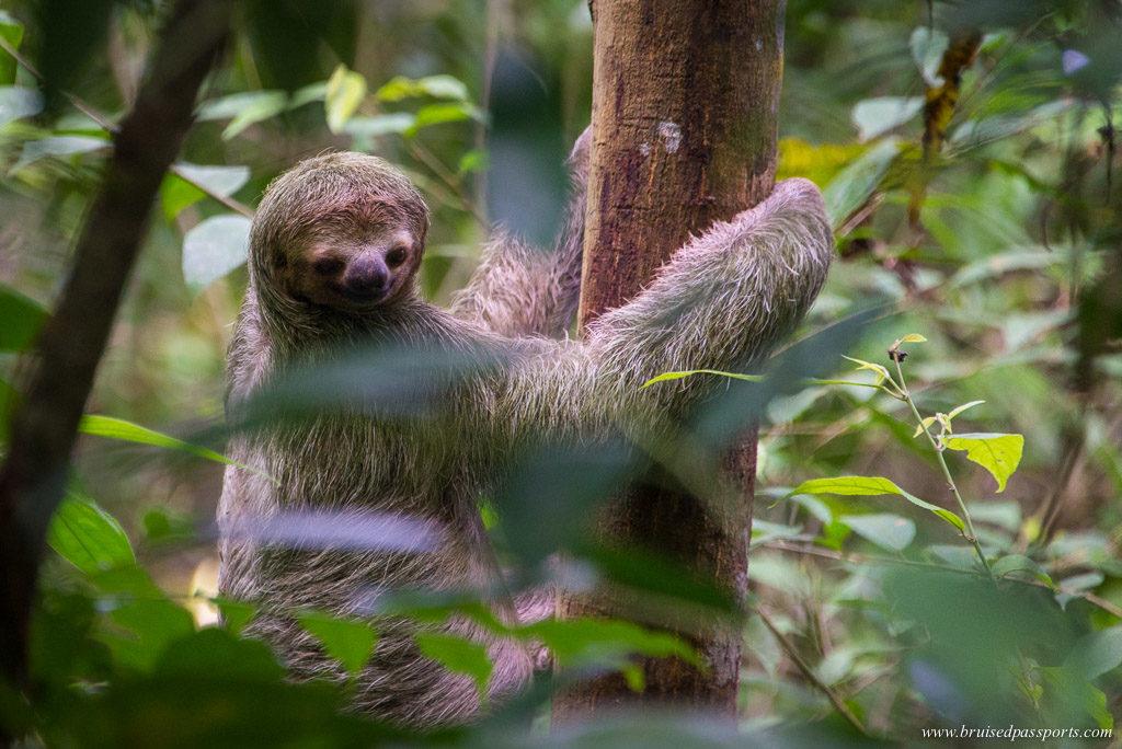 Sloths Arenas Del Mar Manuel Antonio National Park Costa Rica