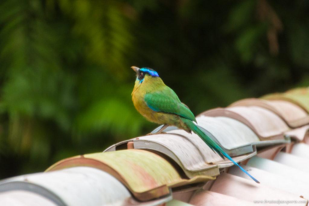 birding at Finca Rosa Blanca San Jose Costa Rica
