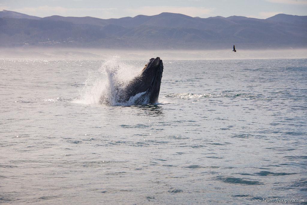 Morro bay whale watching humpback whale