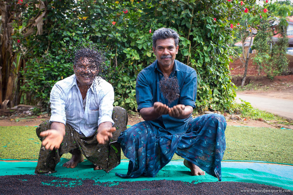 fresh peppercorns in Thekkady