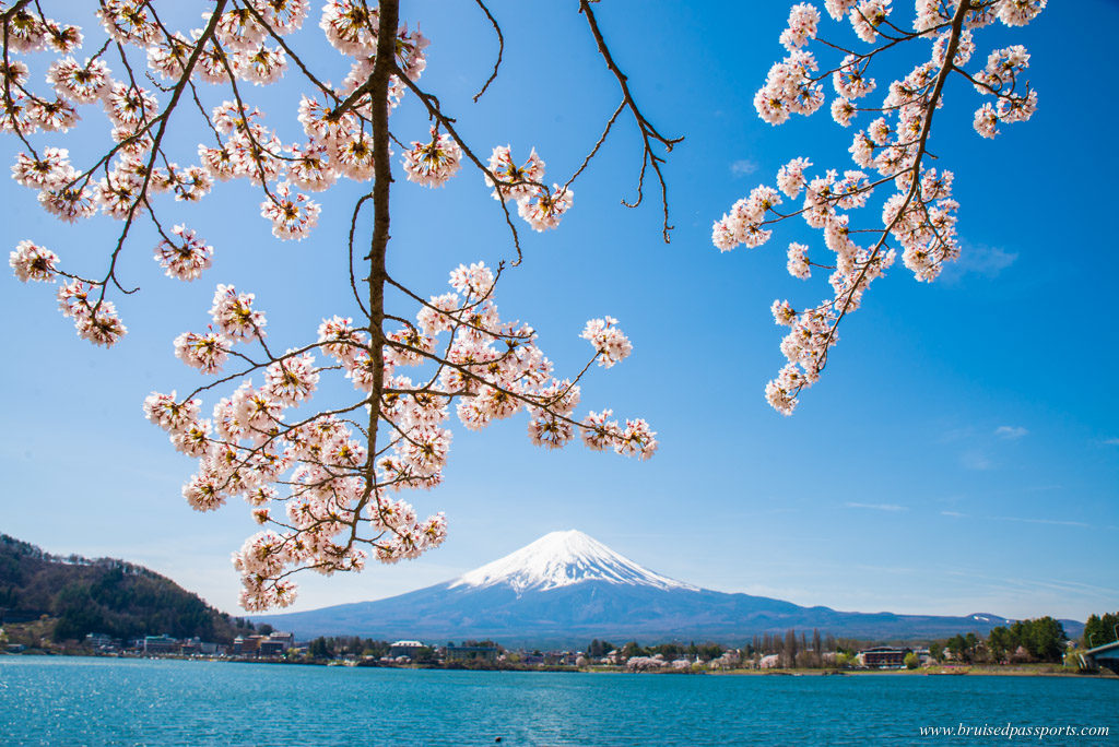 Mt. Fuji in cherry blossom season
