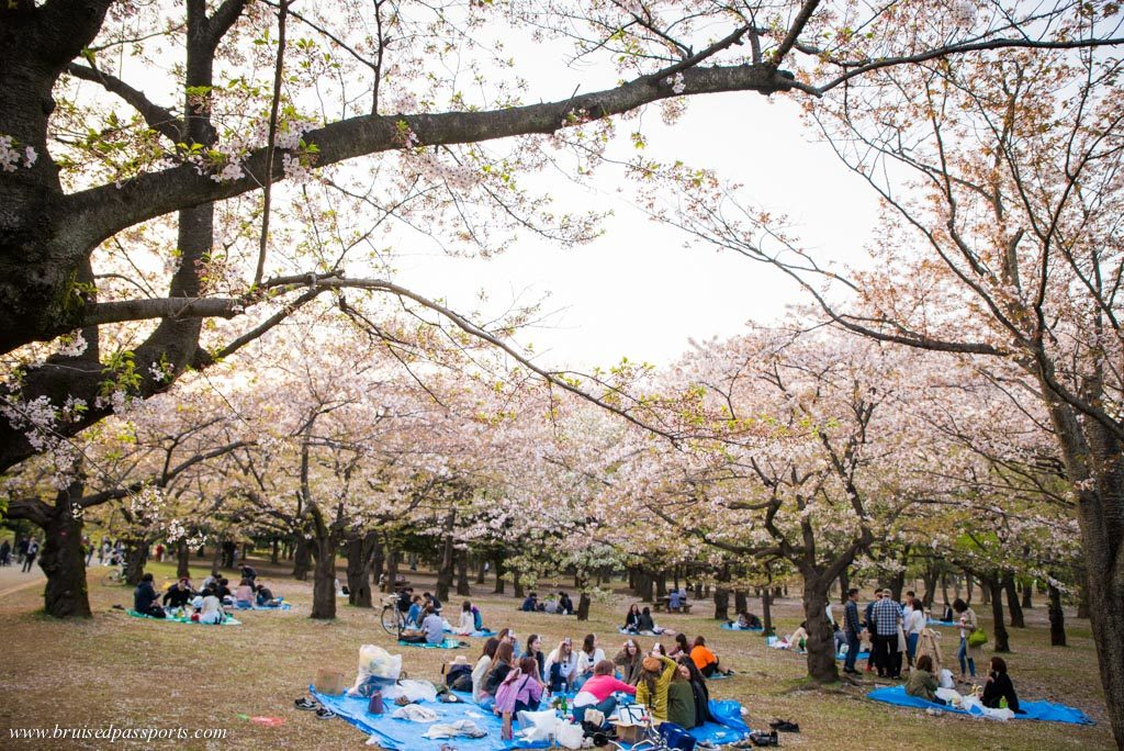 Hanami in Tokyo during cherry blossom season locals enjoying picnics
