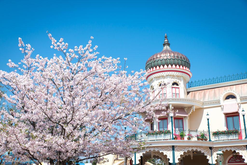 cherry blossom in disneyland tokyo