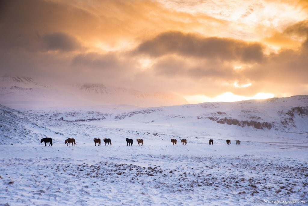 Horses walking on snow in Iceland