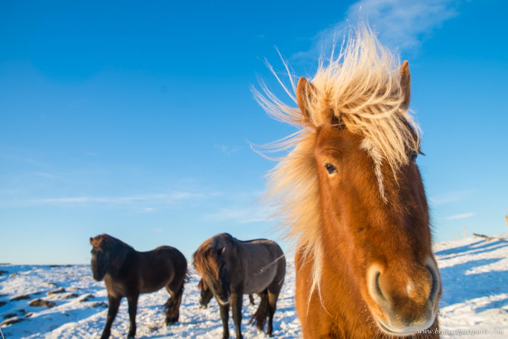 Icelandic horses in a farm in Iceland
