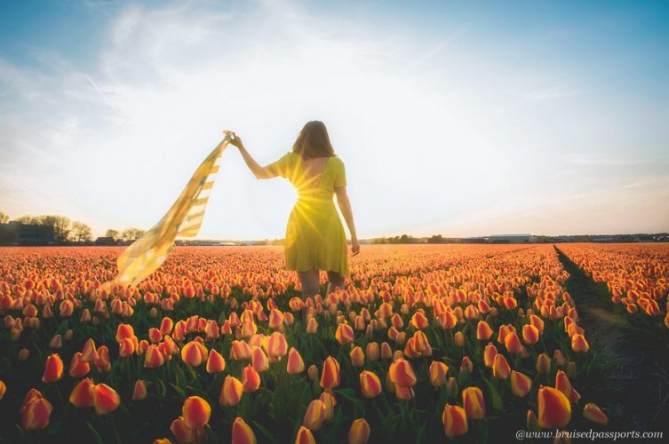 tulip fields in Netherlands during sunset