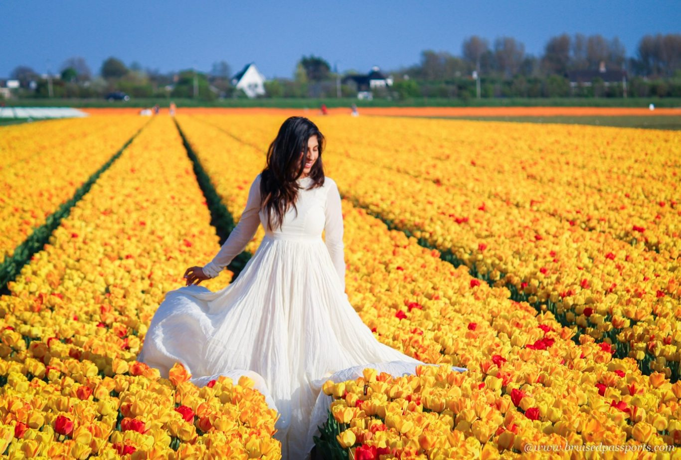Yellow tulip fields in Lisse in Netherlands