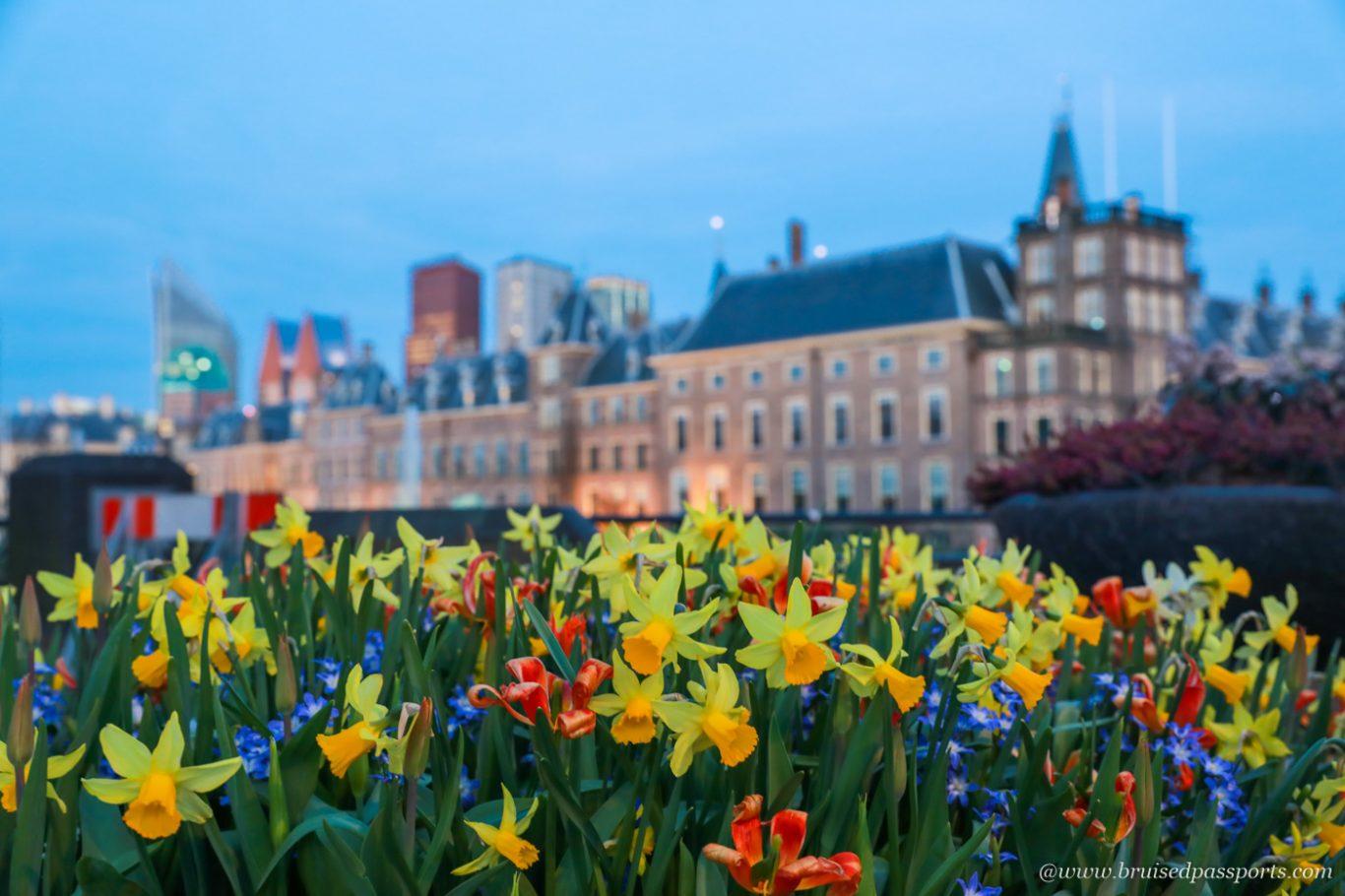 Hague tulips in city centre