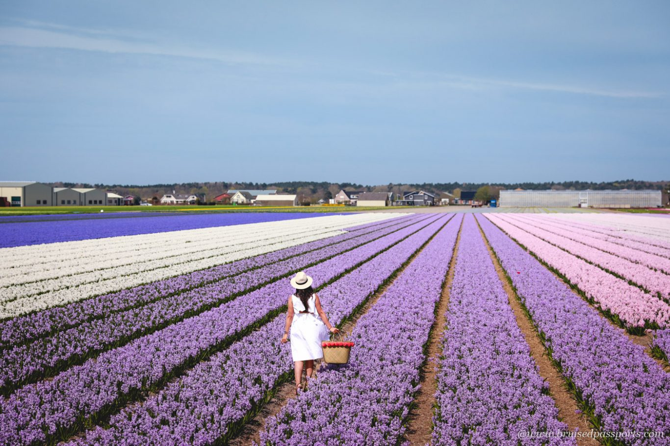 Tulip fields near The Hague