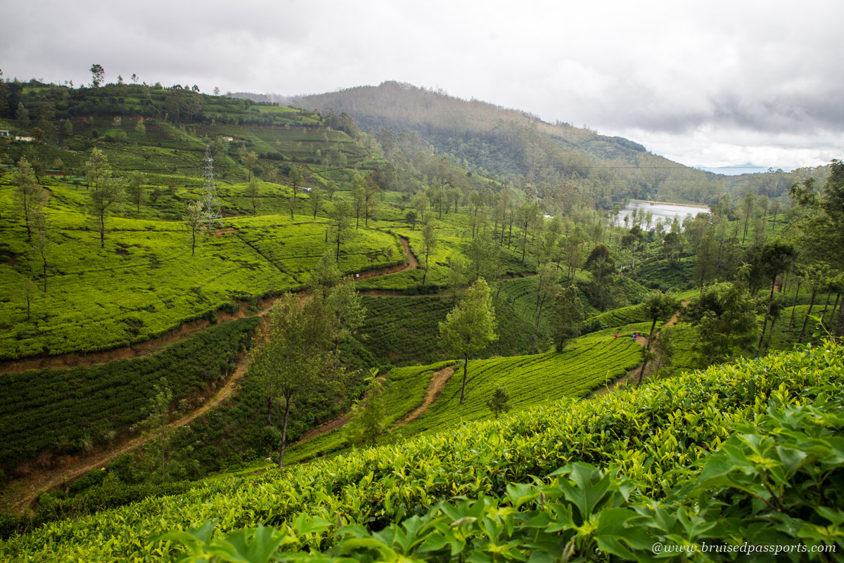 Pedro tea estate in Nuwara Eliya Sri Lanka