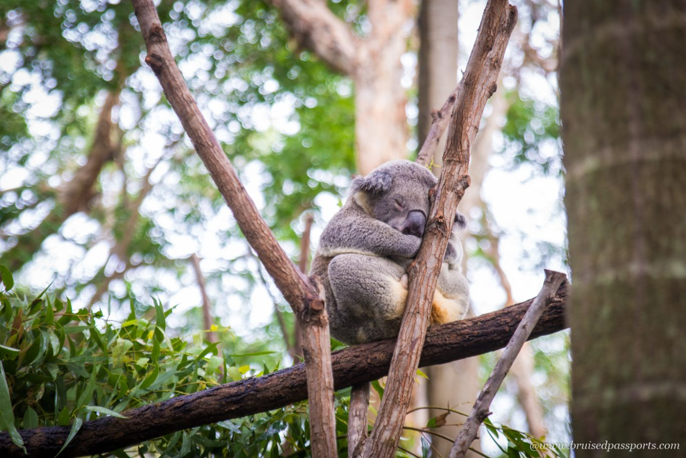 Koala hanging by the tree at Currumbin Sanctuary Gold Coast